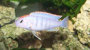 "Aquarien mit Pseudotropheus sp. ""perspicax orange cap"""