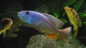 Aristochromis christyi m.