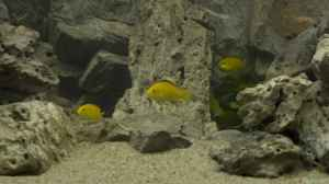 Labidochromis sp.Yellow / Gold