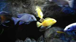 Cyrtocara moorii vs. Labidochromis Yellows