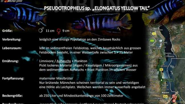 "Artentafel - Pseudotropheus sp. ""elongatus yellow tail"""