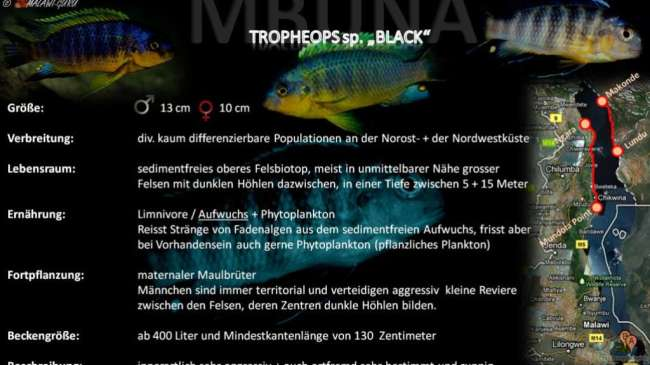 "Artentafel - Tropheops sp. ""black"