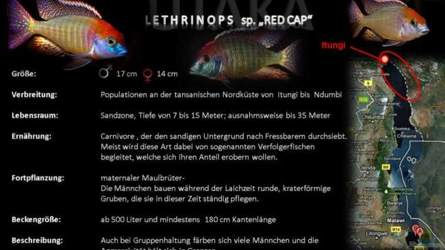 "Artentafel - Lethrinops sp. ""red cap"""