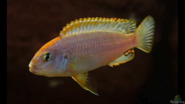 "Orange Kappen am Ndumbi Reef , der Pseudotropheus sp. ""Persipax orange cap"" !"