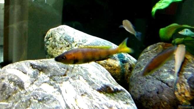 Beispiele f r aquarien mit heringscichliden for Asiatische zierfische