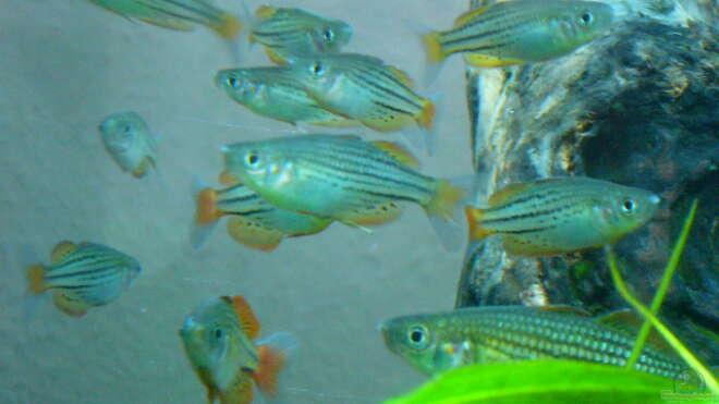 Einrichtungsbeispiele mit schwarmfischen for Asiatische zierfische