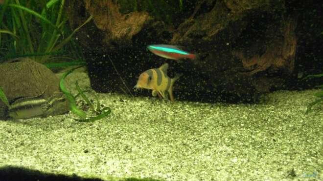 Prachtschmerle im aquarium halten for Asiatische zierfische