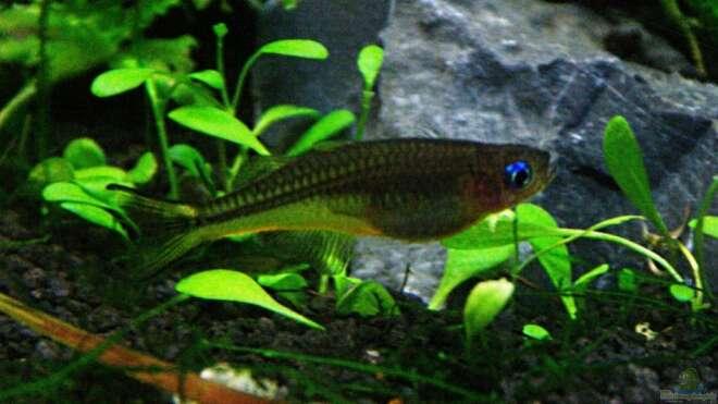 Aquarien mit pseudomugil furcatus for Asiatische zierfische