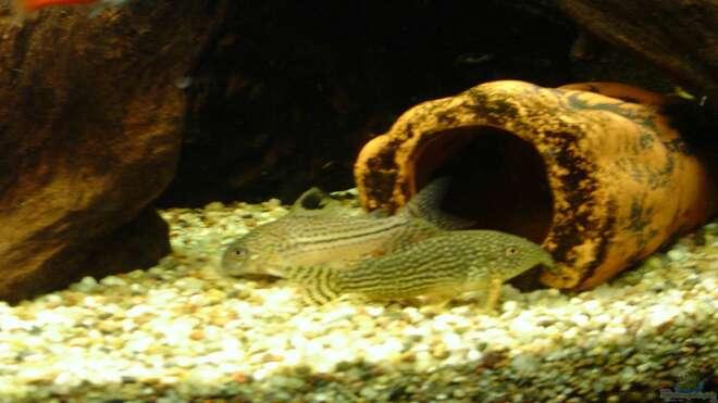 Aquarien f r corydoras leopardus for Asiatische zierfische