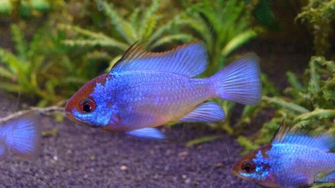 Einrichtungsbeispiele f r aquarien mit erdfresser for Asiatische zierfische