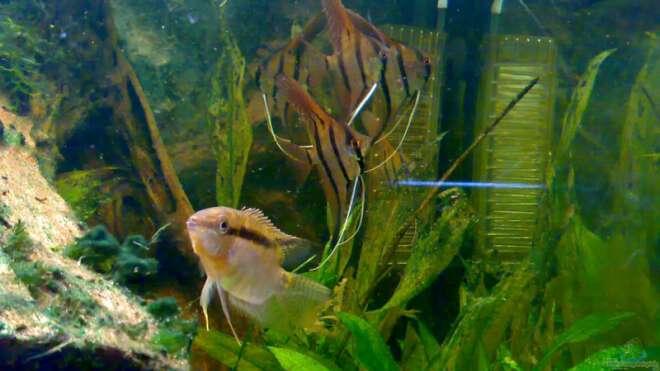 Aquarien mit mesonauta aquarium einrichtungsbeispiele for Asiatische zierfische
