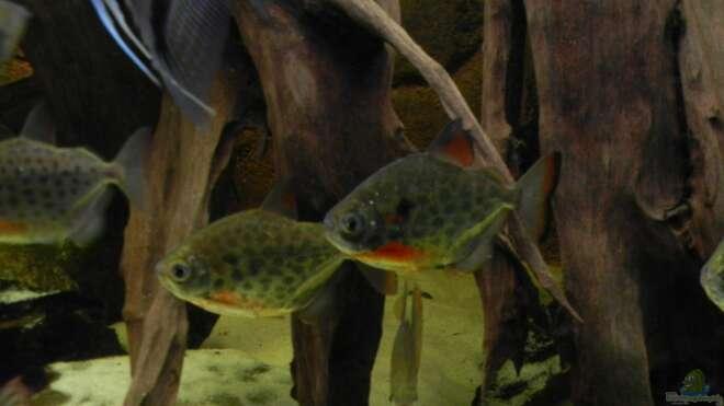 Aquarien mit metynnis lippincottianus for Asiatische zierfische