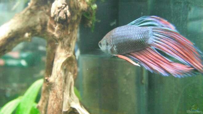 Kampffisch aquarium einrichtungsbeispiele for Kampffische arten