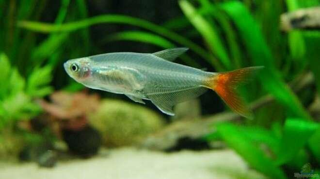 Aquarien mit prionobrama filigera for Asiatische zierfische