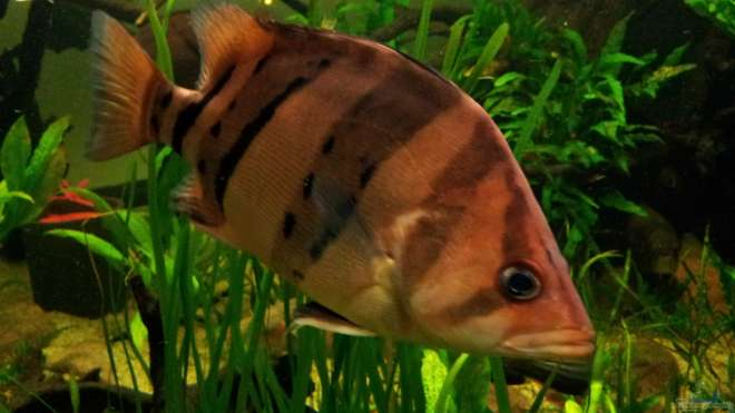 Aquarien mit datnioides pulcher for Asiatische zierfische