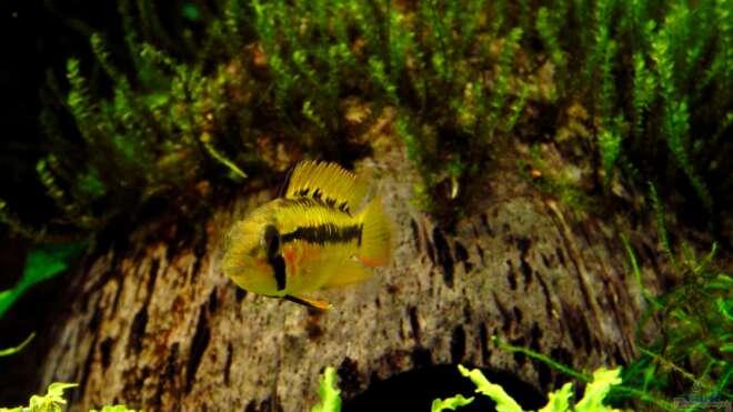 Aquarien mit apistogramma viejita for Asiatische zierfische