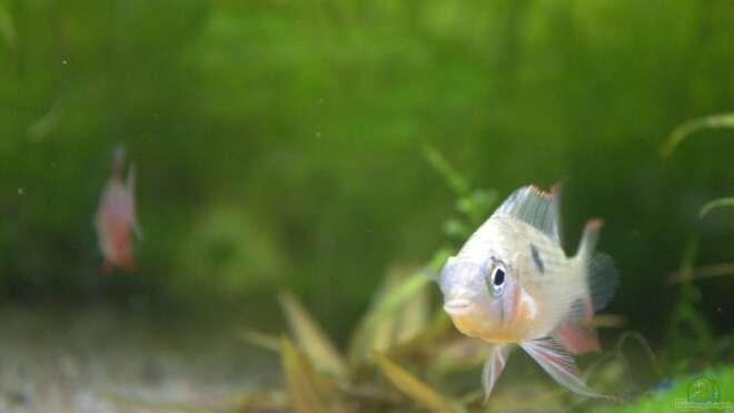 Aquarien mit mikrogeophagus ramirezi for Asiatische zierfische