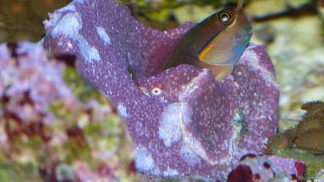 Aquarien mit ecsenius stigmatura for Asiatische zierfische