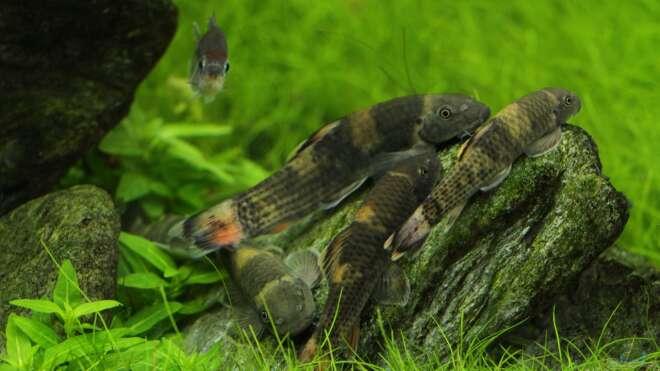 Aquarien mit garra flavatra einrichtungsbeispiele for Asiatische zierfische