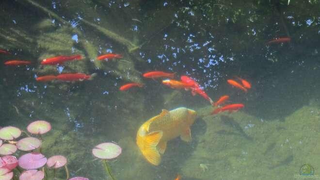 Goldfische im teich oder aquarium halten for Zierfische im teich