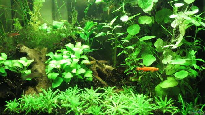 Aquarien mit killifischen einrichtungsbeispiele for Asiatische zierfische
