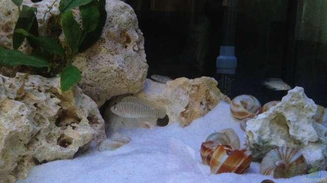 Aquarien mit schneckenbuntbarschen for Asiatische zierfische