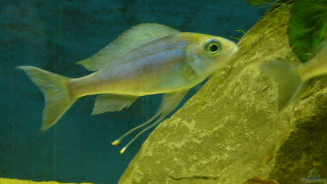 Aquarien mit Ophthalmotilapia ventralis (Blauer Fadenmaulbrüter)