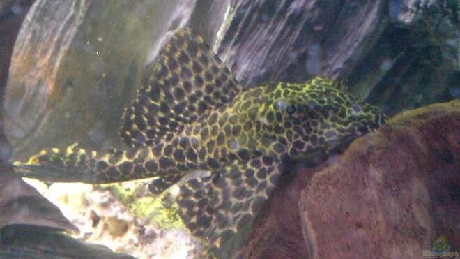 Aquarien mit glyptoperichthys joselimaianus for Asiatische zierfische