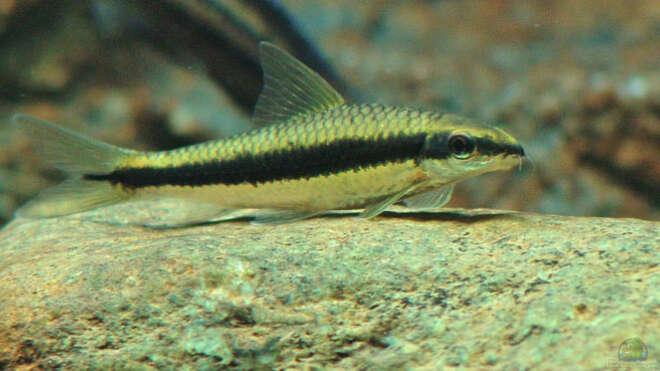 Aquarien mit crossocheilus siamensis for Asiatische zierfische