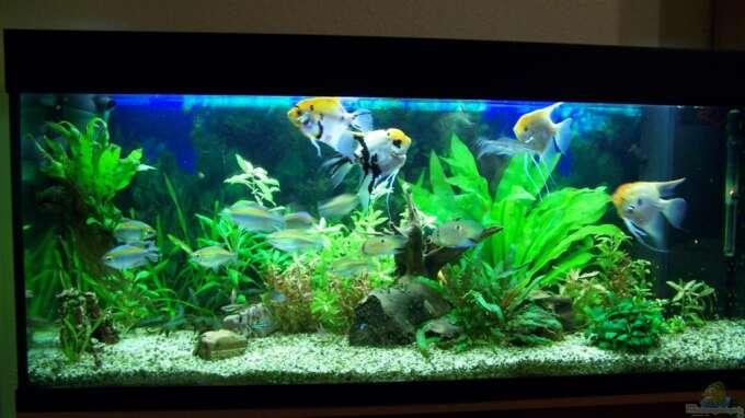 Aquarium von dani7 16295 skalar for Skalar aquarium
