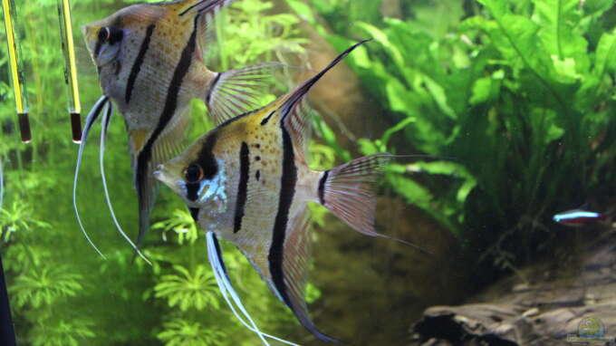 Aquarium Hauptansicht von Peruaner - wurde aufgelöst -(