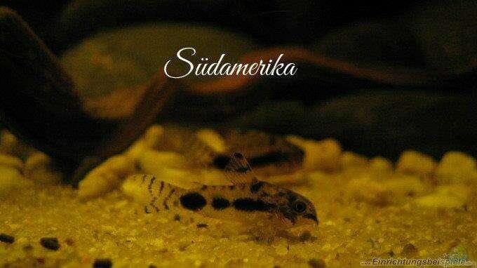 Aquarium Hauptansicht von Südamerikapfütze II
