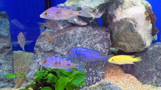 Aquarium Hauptansicht von Malawi Anfänger