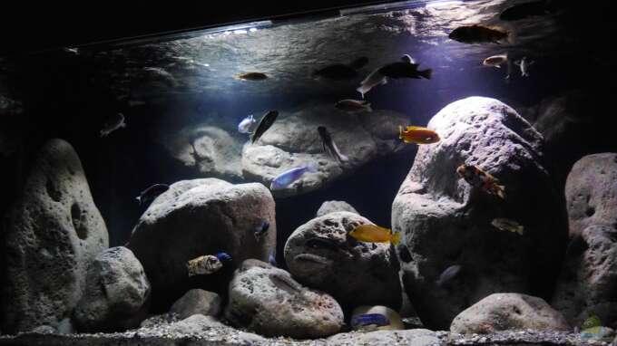 Aquarium Hauptansicht von Big Rock Mbuna