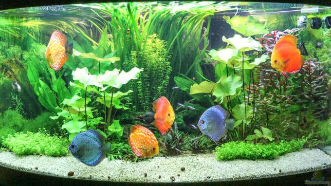 Aquarium Hauptansicht von Diskus Amazonas