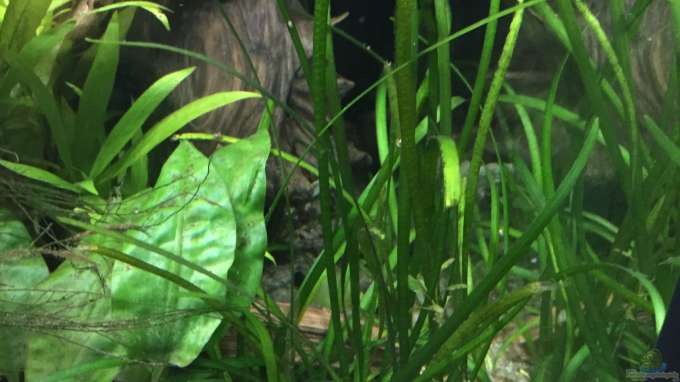Sagittaria subulata aus schlafzimmerdschungel von danny for Robuste zierfische