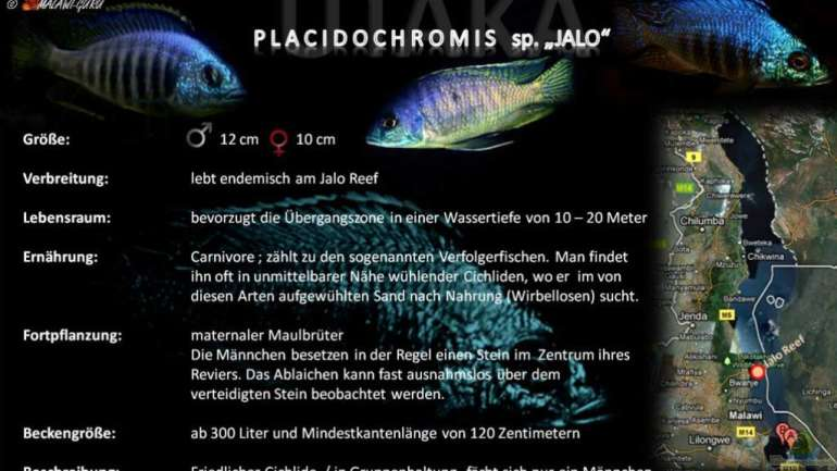 "Artentafel - Placidochromis sp. ""jalo"""