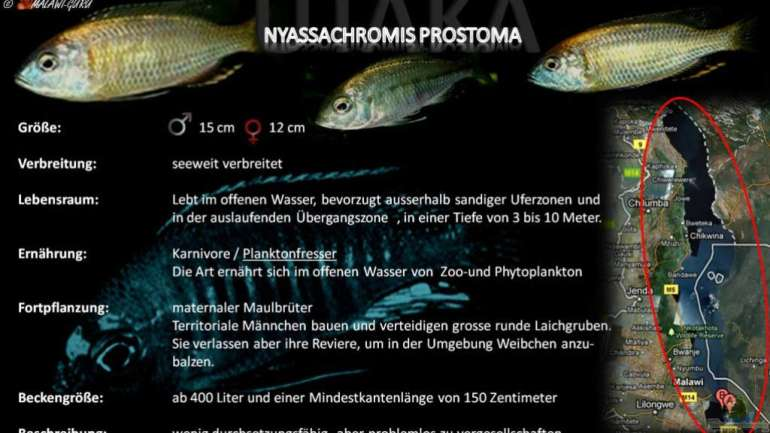 Artentafel - Nyassachromis prostoma