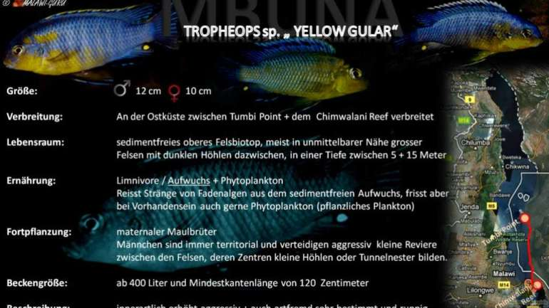 "Artentafel - Tropheops sp. ""yellow gular"""
