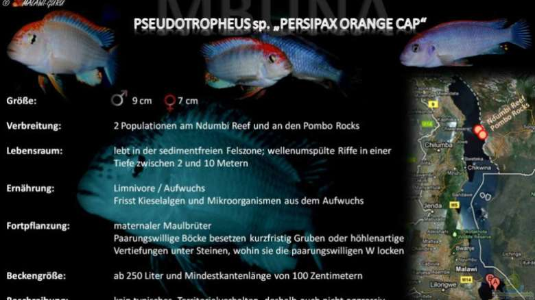 "Artentafel - Pseudotropheus sp. ""persipax orange cap"""