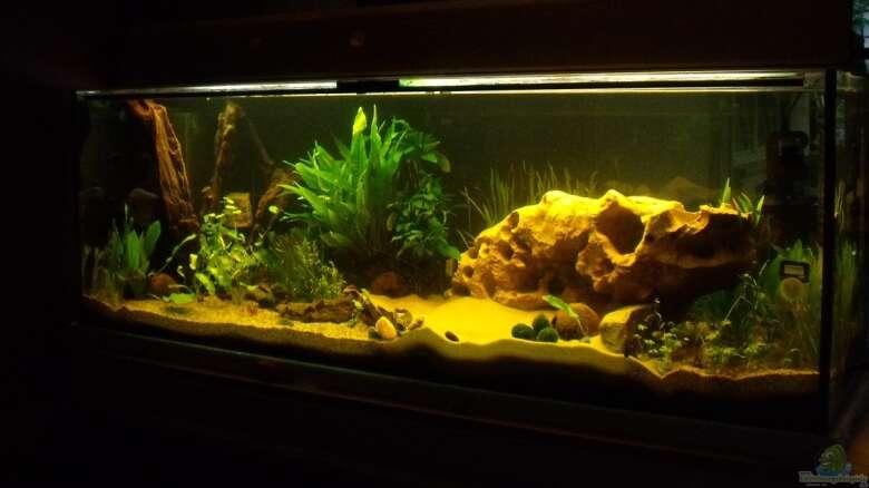 Muschelblume Pistia stratiotes 5 Stk Schwimmpflanzen Aquarium Teich 1,50€//Stk