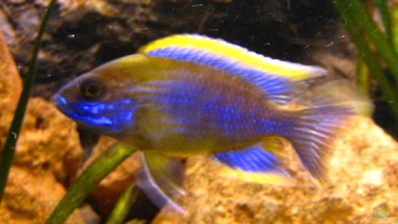 Aulonocara Lwanda yellow top Hai Reef male