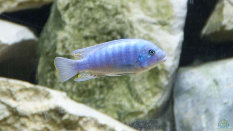 Metriaclima zebra red+blue