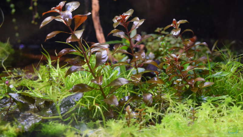 Ludwigia sp. Super Red emerse Form