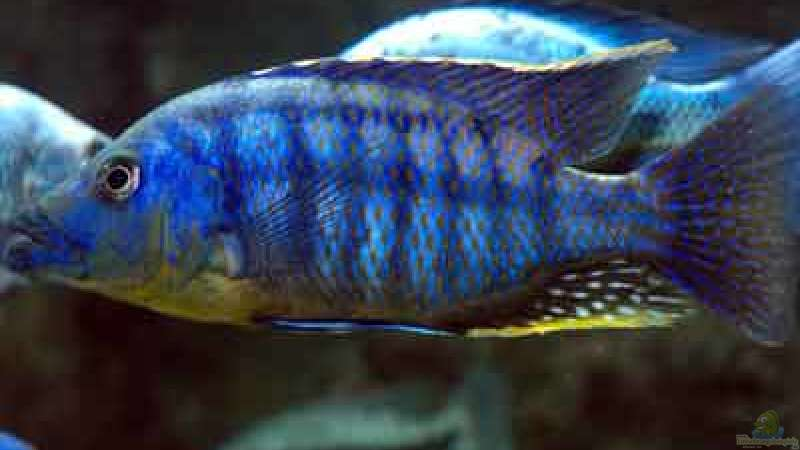 Eclectochromis mbenji thick lip