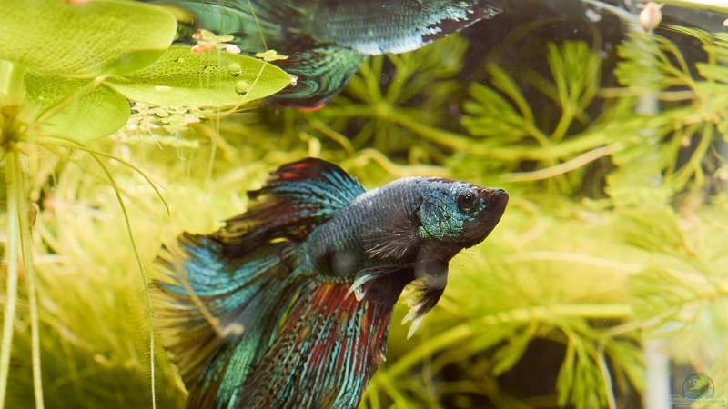Hugo der Betta splendens `Halfmoon `