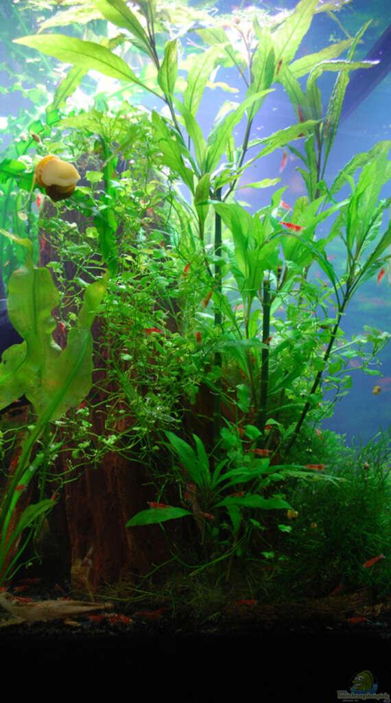 Pogostemon Stellatus Aquarium von Chili: Be...