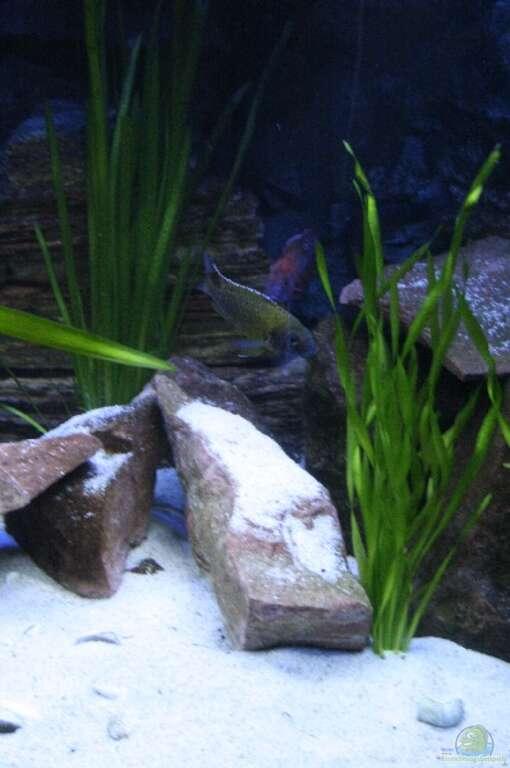 aquarien die mit vallisneria arten bepflanzt sind. Black Bedroom Furniture Sets. Home Design Ideas