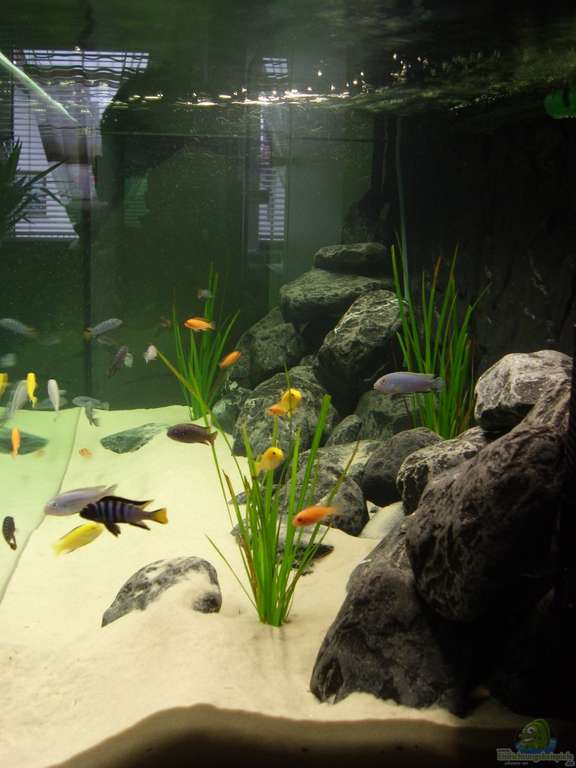 aquarien mit pseudotropheus elongatus schmalbarsch. Black Bedroom Furniture Sets. Home Design Ideas