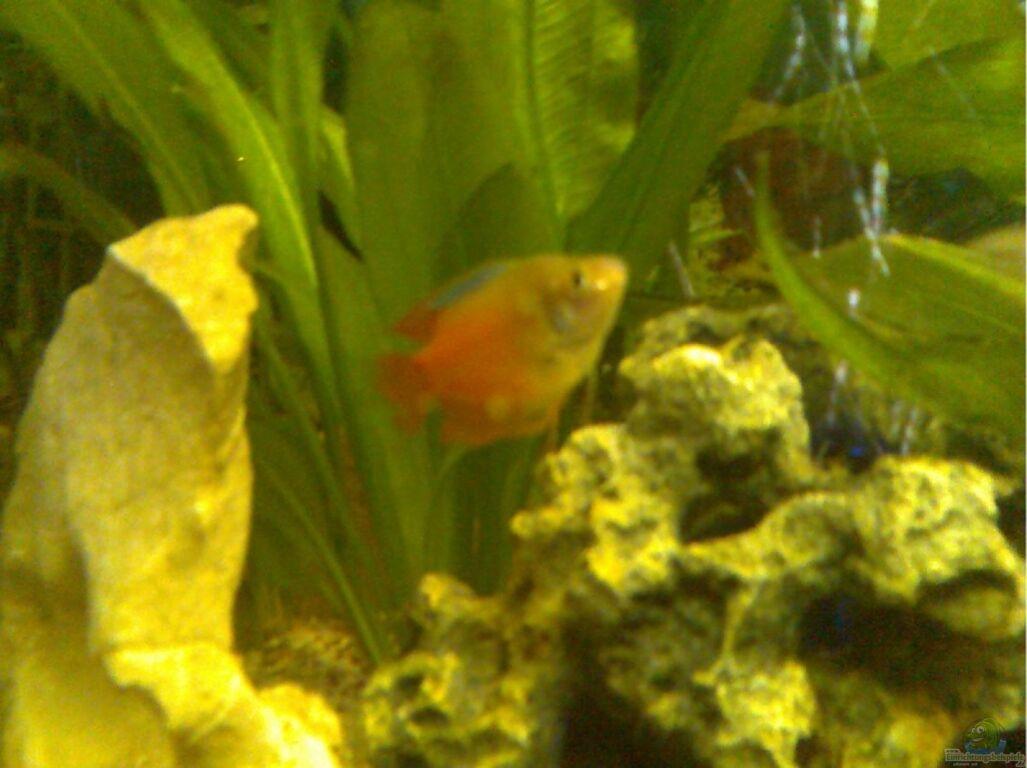 Aquarium von thomas m ller becken 11243 for Kampffisch becken